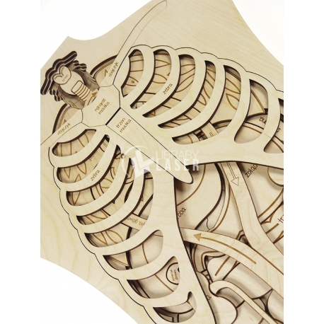 Anatomia para Corte Laser