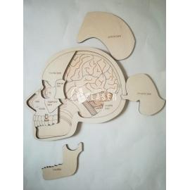 Anatomia craneo para Corte Laser