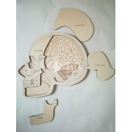 Anatomy skull for Laser Cutting